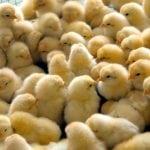 Курятник с инфракрасным обогревателем для цыплят